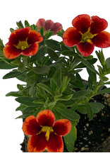 Calibrachoa 'Can Can Bumble Bee Orange' 4 Inch