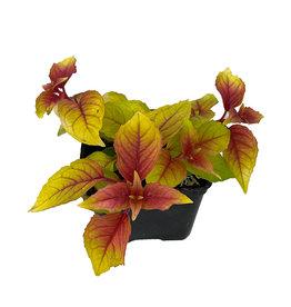 Fuchsia 'Autumnale' 4 Inch
