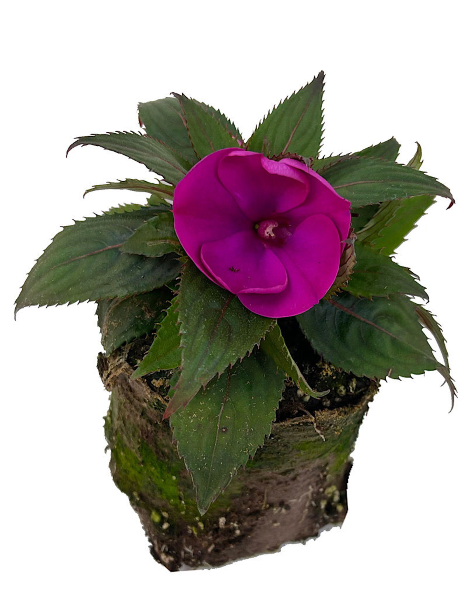Sunpatiens 'Compact Purple' 4 Inch