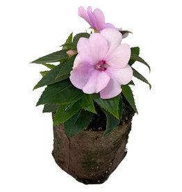Sunpatiens 'Compact Orchid Blush' 4 Inch