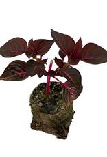 Iresine 'Blazin Rose' 4 Inch