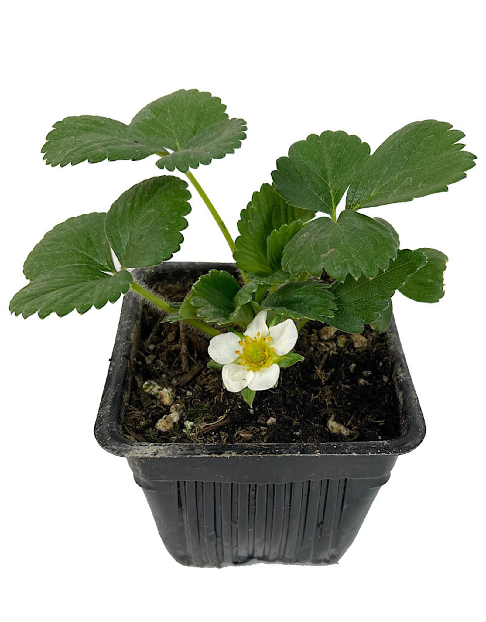 Strawberry 'Albion' 4 Inch