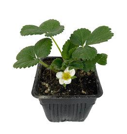 Strawberry 'Albion' 4 Inch