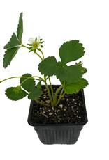 Strawberry 'Sequoia' 4 inch