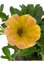 Petunia 'Supertunia Honey' 4 inch