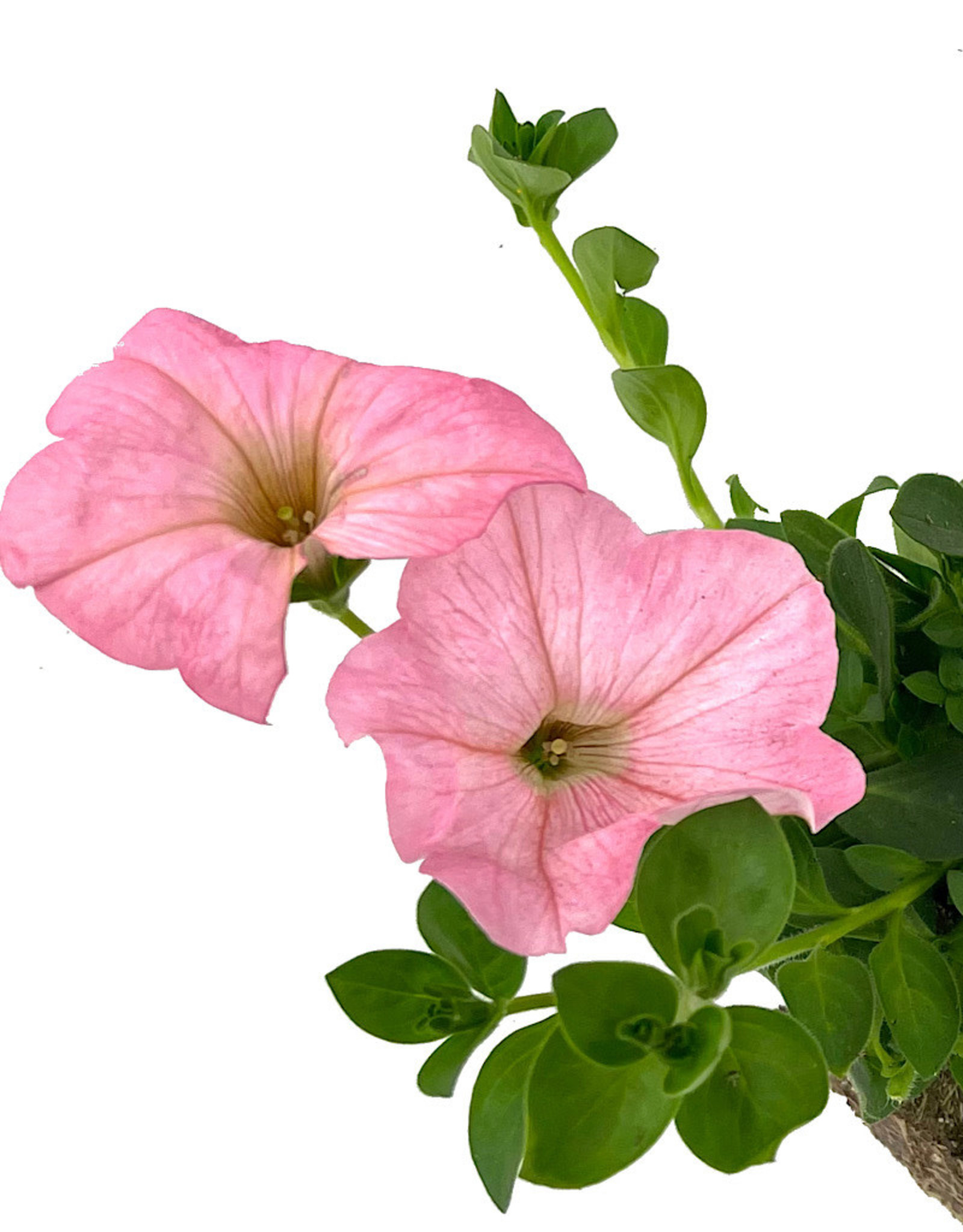 Petunia 'Main Stage Pink' 4 inch