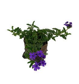 Verbena 'Endurascape Blue' 4 inch