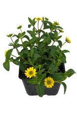 Sanvitalia 'Tsavo Yellow' 4 Inch