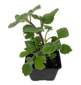 Plectranthus 'Nicolleta' 4 Inch