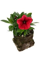 Petunia 'Potunia Coral' 4 inch