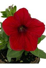 Petunia 'Sweetunia Hot Rod Red' 4 inch