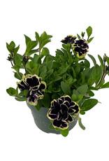 Petunia 'Midnight Gold' 6 Inch