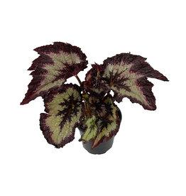Begonia 'Jurassic Silver Point' 4 Inch