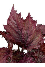 Begonia 'Festive Lavender' 4 Inch