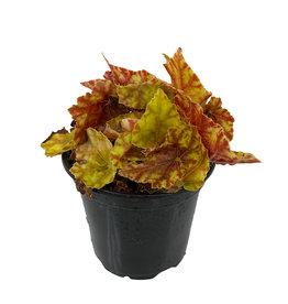 Begonia 'Autumn' 4 Inch