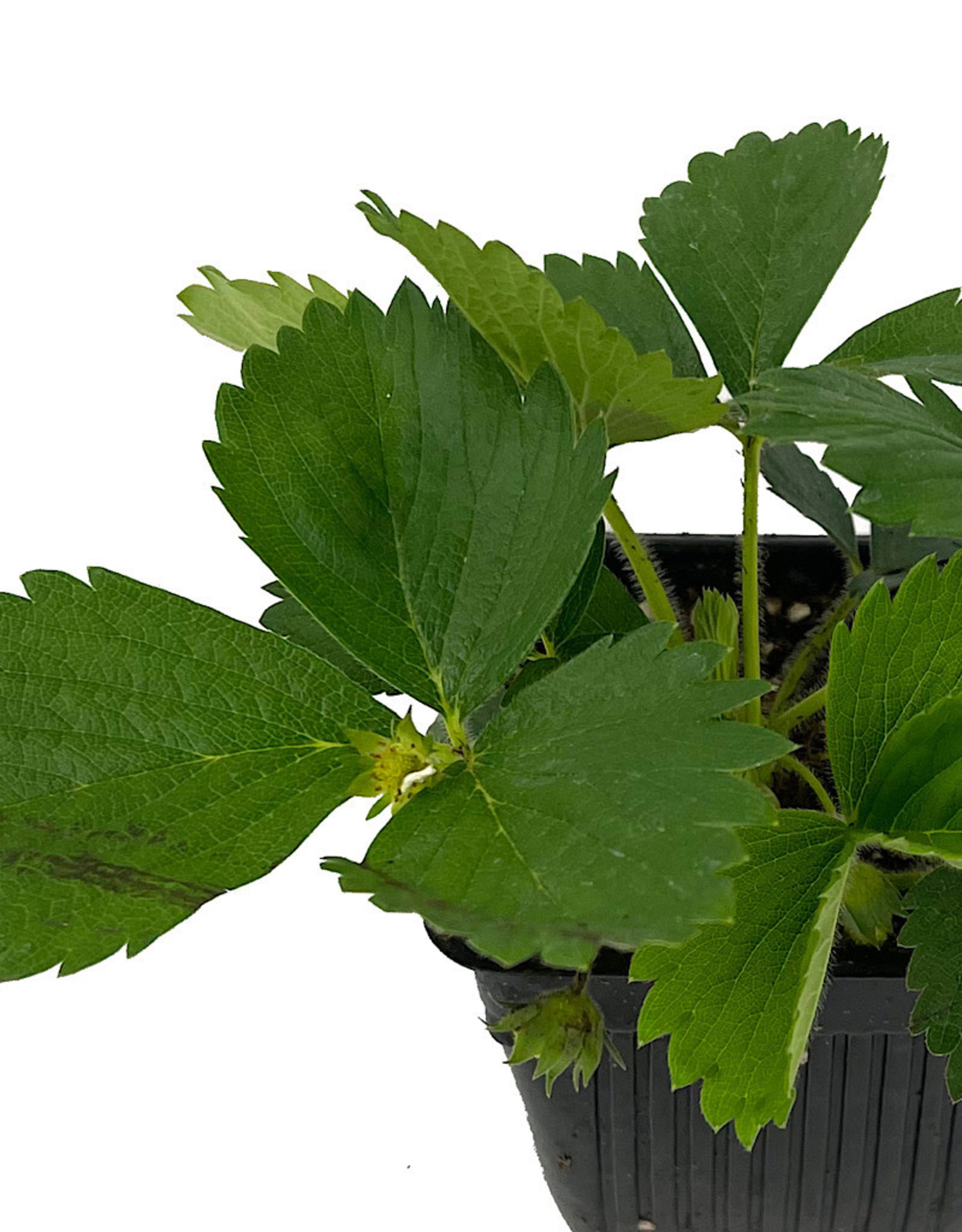 Strawberry 'Quinault' 4 inch