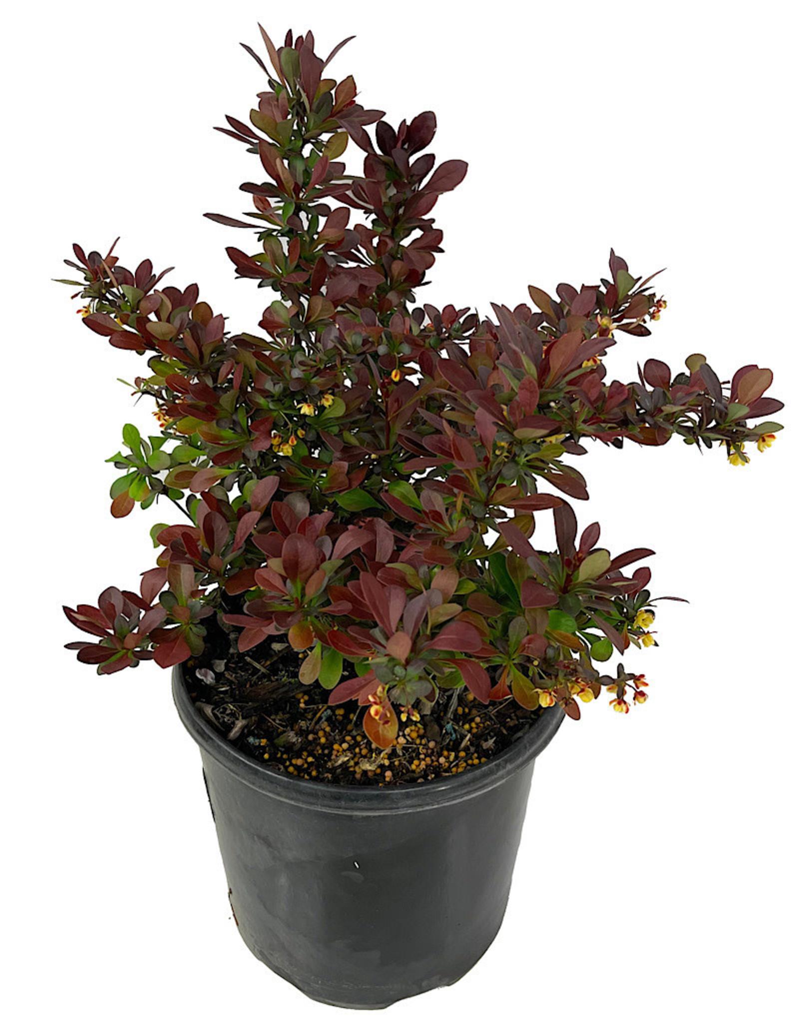 Berberis 'Crimson Pygmy' 1 Gallon
