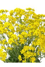 Aurinia 'Basket of Gold Alyssum' 1 Gallon