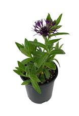 Centaurea 'Amethyst Dream' 1 Gallon
