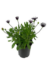 Osteospermum 'FlowerPower Spider Purple' 1 Gallon