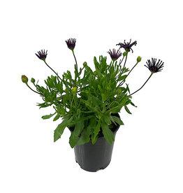 Osteospermum 'FlowerPower Spider Purple' 1 Gallon