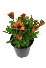 Osteospermum 'Serenity Bronze' 1 Gallon