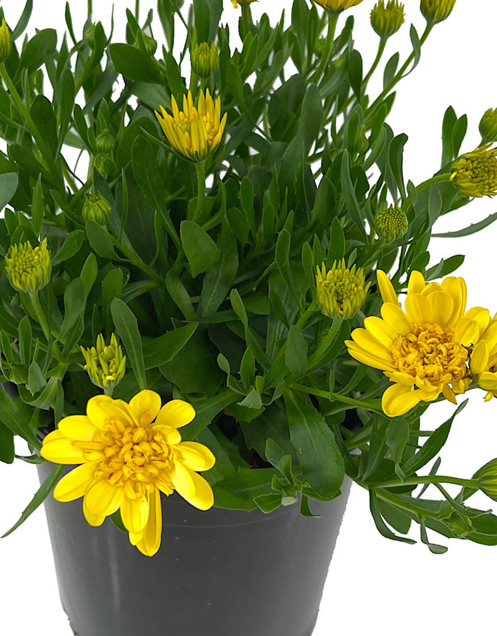 Osteospermum '4D Sunburst' 1 Gallon
