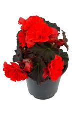 Solar Begonia