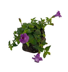 Torenia 'Summer Wave Large Amethyst' 4 inch