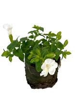 Torenia 'Summer Wave Bouquet White' 4 Inch