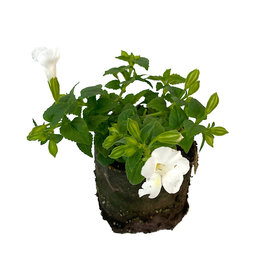 Torenia 'Summer Wave Bouquet White' 4 Inch