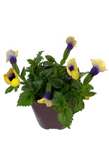 Torenia 'Bouquet Gold' 4 Inch