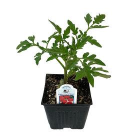 Tomato 'Oregon Spring' 4 Inch