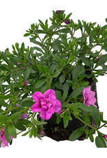 Calibrachoa 'Minifamous Neo Double Pink' 4 Inch