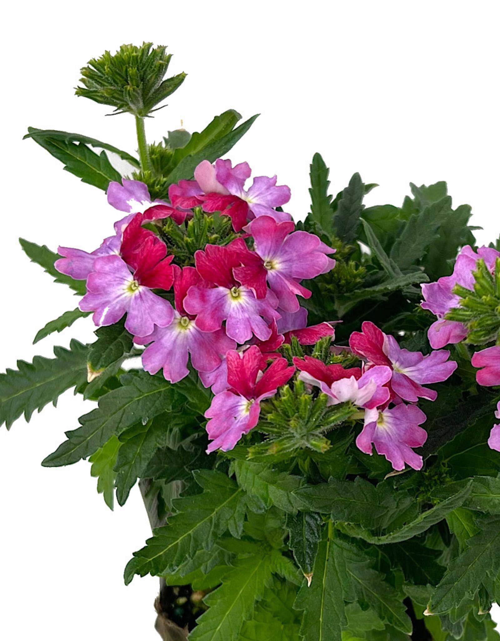 Verbena 'Lanai Twister Rose' 4 inch