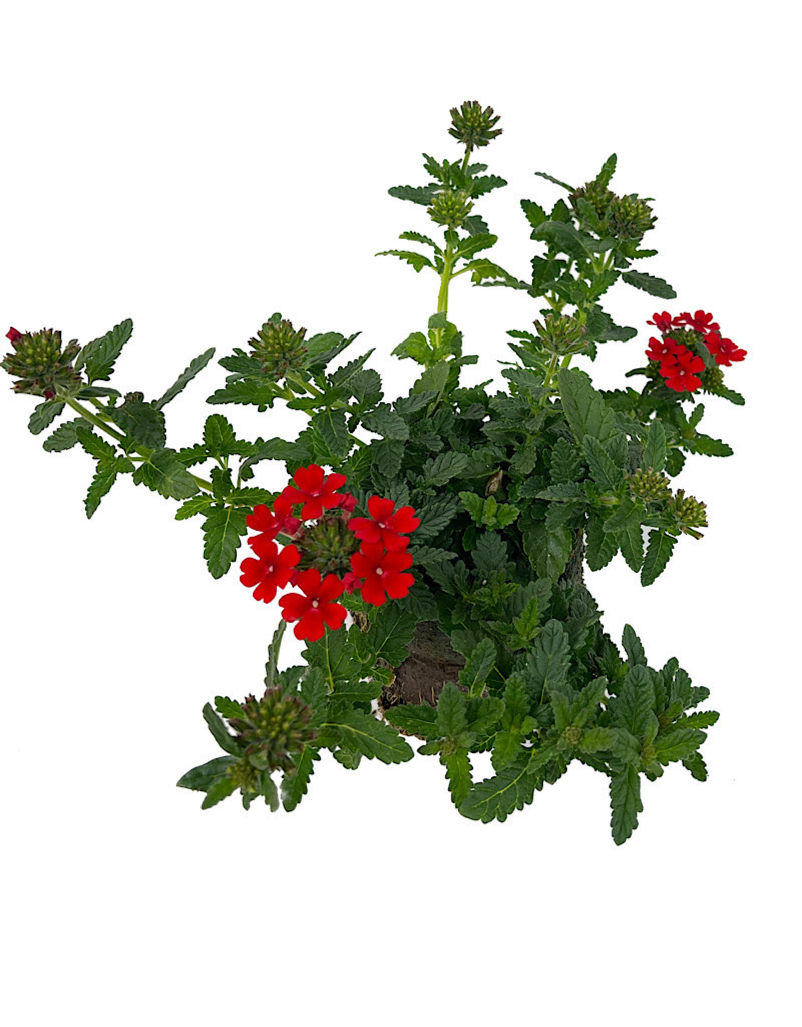 Verbena 'Firehouse Red' 4 Inch