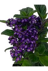Heliotrope 'Fragrant Delight' 4 Inch