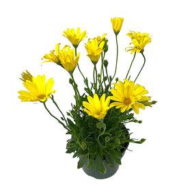 Osteospermum 'Voltage Yellow' 6 Inch