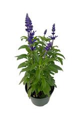Salvia 'Icon Dark Blue' 6 Inch