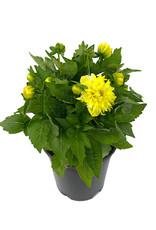 Dahlia 'Hypnotica Yellow' 1 Gallon