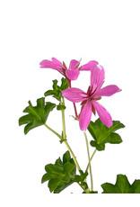 Geranium 'Cascade Lila Compact' 4 Inch