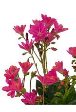 Lewisia 'Constant Fuchsia' Quart