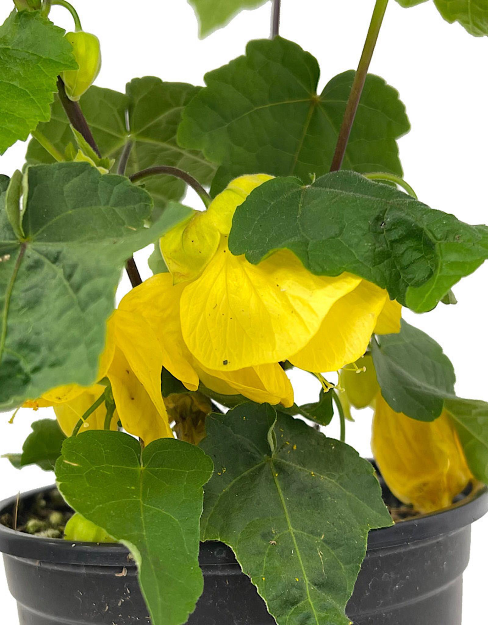 Abutilon 'Lucky Lantern Yellow' Quart