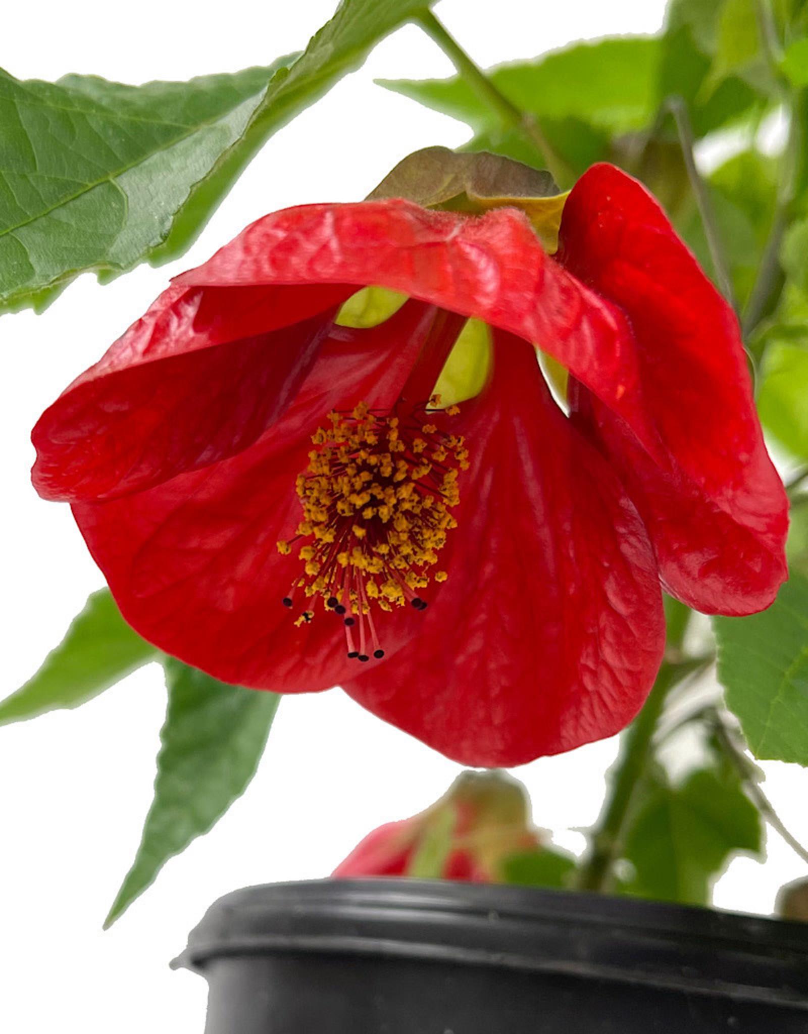 Abutilon 'Lucky Lantern Red' 1 Gallon