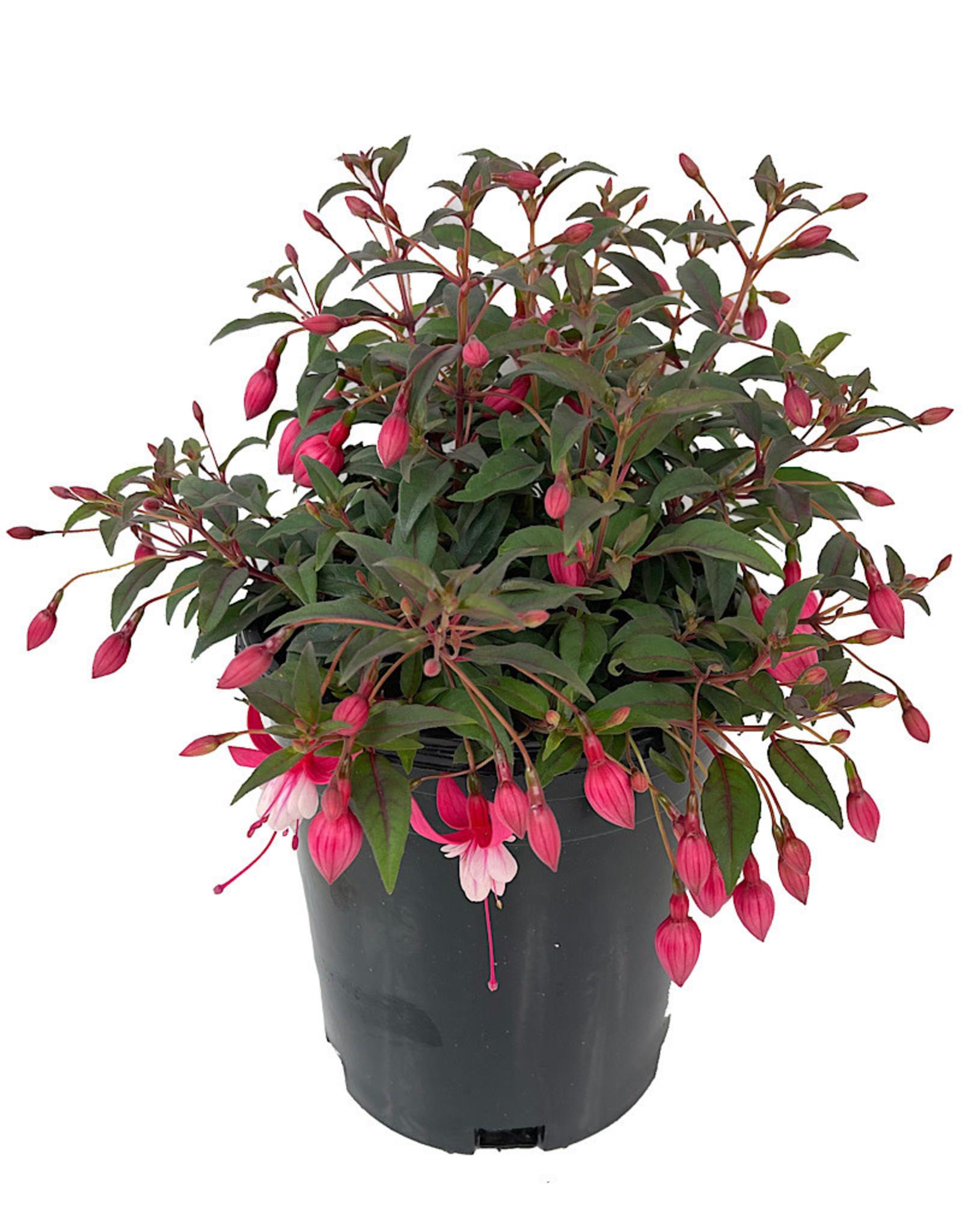 Fuchsia 'Alice Hoffman' 1 Gallon
