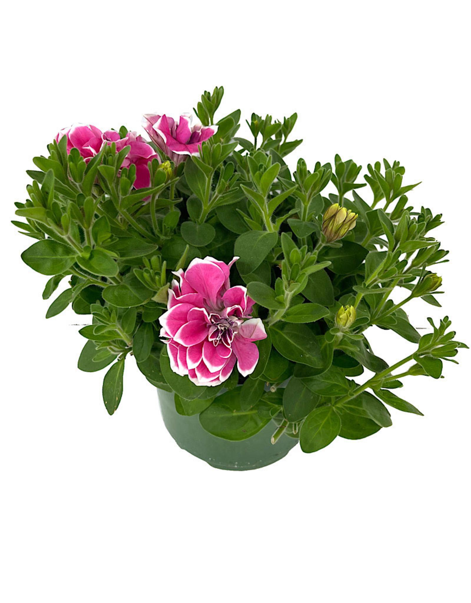 Petunia 'Pink Diamond' 6 Inch