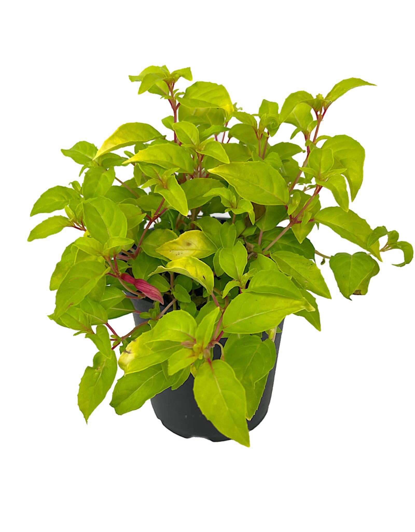 Fuchsia 'Genii' Quart