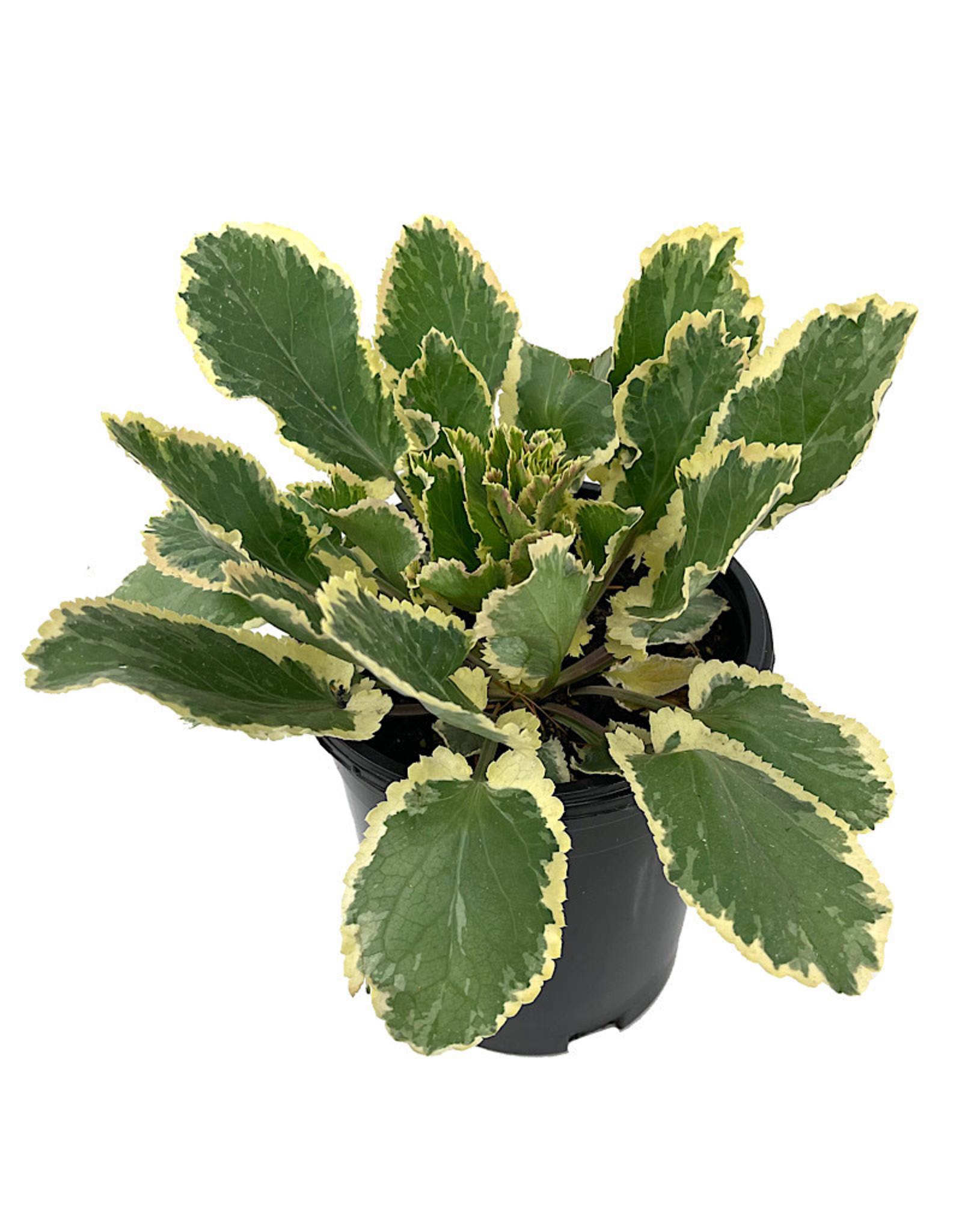 Eryngium 'Jade Frost' 1 Gallon