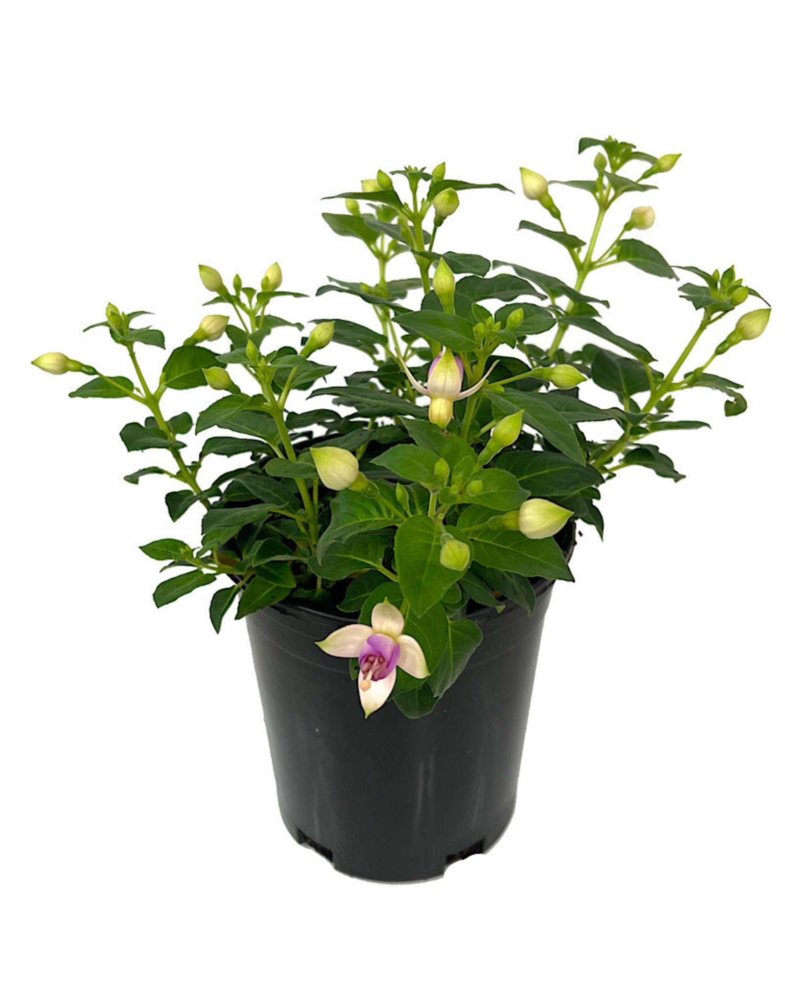 Fuchsia 'Erecta' 1 Gallon