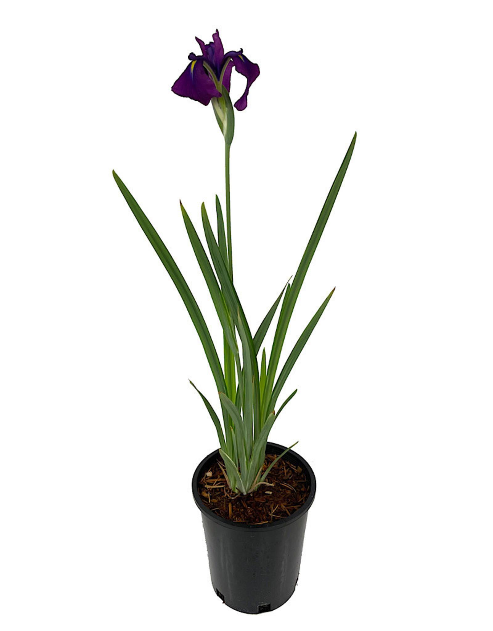 Iris ensata 'Variegata' 1 Gallon